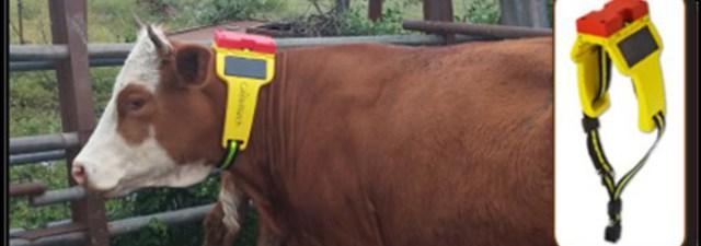 As vacas conectadas também usam wearables