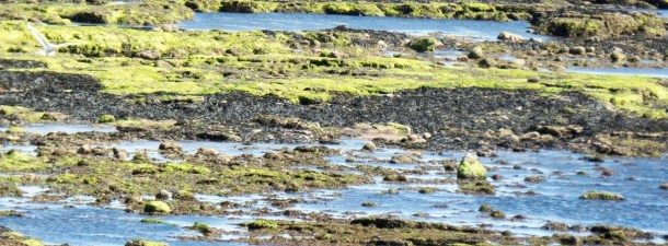 Sintetizam petróleo a partir de algas em um processo de 20 minutos