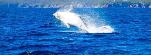 Drones para descobrir os segredos da baleia boreal